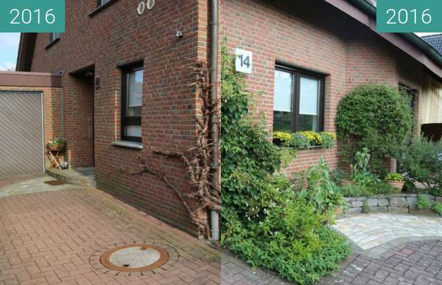 Before-and-after picture of Kletterhortensie between 2016-Mar-12 and 2016-Jul-21