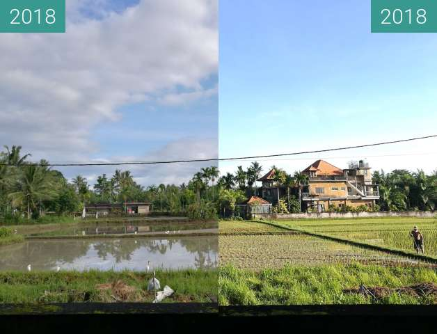 Before-and-after picture of New Plants in the Rice Paddy Fields in Ubud between 2018-Feb-02 and 2018-Feb-11